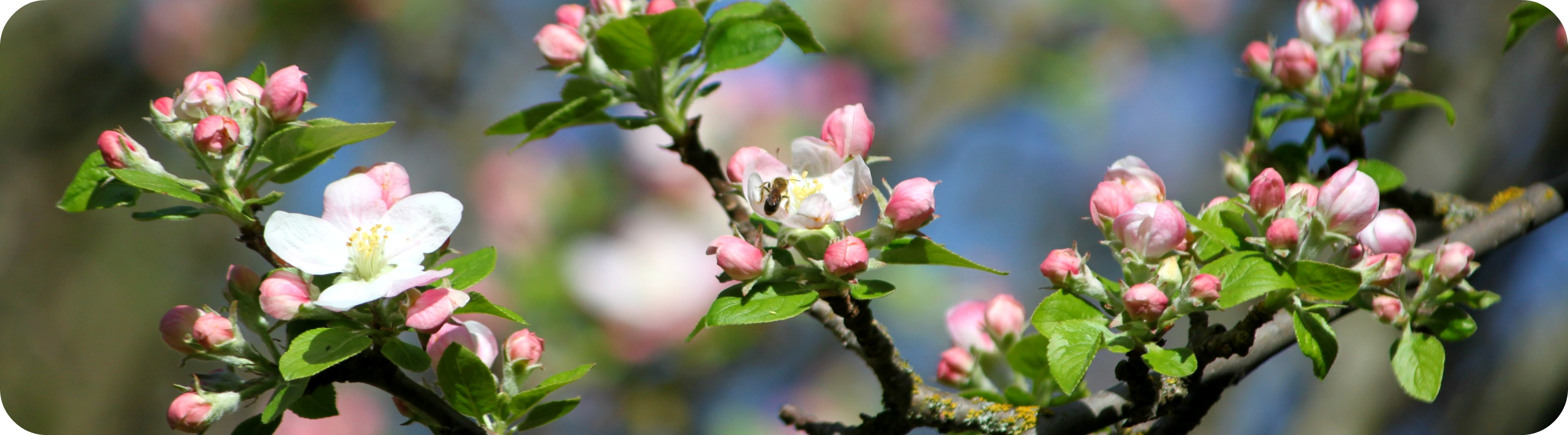 Apple Blossoms Header