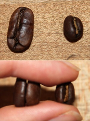 In both pictures, the peaberry bean is on the right.